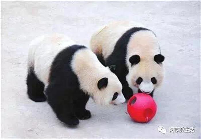 鄂尔多斯野生动物园,毕竟谁都拒绝不了可爱的熊猫