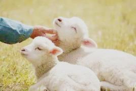 冬天到了,听说没有一只羊能活着走出内蒙古