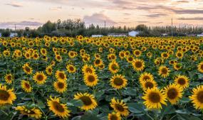 300万亩葵花,燃烧在河套的金黄夏装