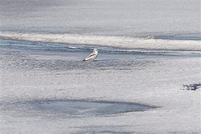 """罕见鸟种""""三趾鸥""""惊现呼伦湖保护区"""